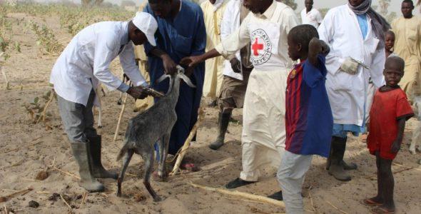 Pourquoi le CICR vaccine-t-il le bétail ?
