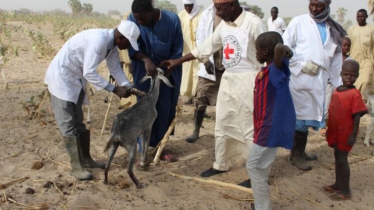 Pourquoi le Comité international de la Croix-Rouge vaccine-t-il le bétail ?