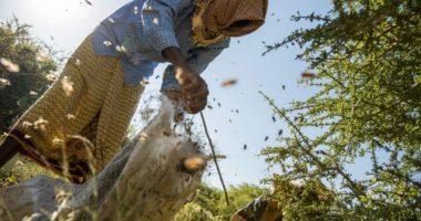 Un coup de pouce économique aux apiculteurs somaliens