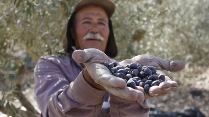 Cisjordanie : faire en sorte que la récolte des olives soit réussie
