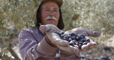 עונת מסיק הזיתים 2021 בגדה המערבית בעיצומה של תקופה מאתגרת