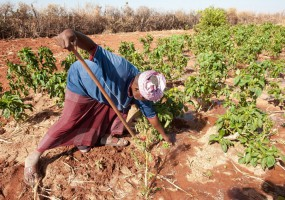 Somalia: Lush, green farms in semi-arid Bakol survive on well water