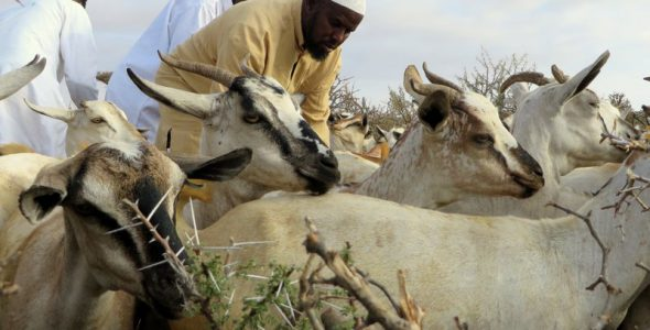 Livestock treatment sets herders on recovery path