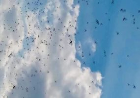 Somalia: New swarms of desert locusts pose a threat to farmlands