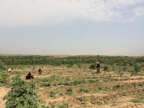 โครงการเพาะปลูกของชุมชนซึ่งเป็นส่วนหนึ่งของ Livelihood Support Projects ที่ ICRCให้ความช่วยเหลือในการเช่าที่ดินและค่าแรงงาน