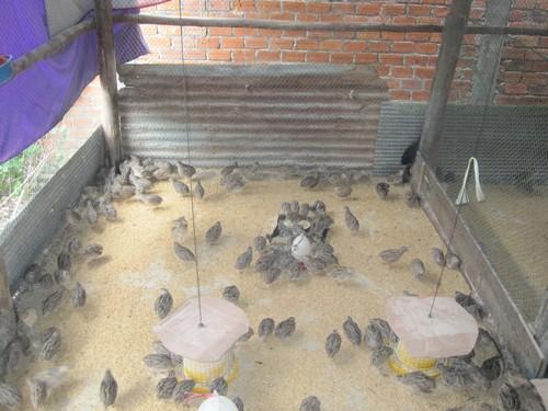quail-raising_2500